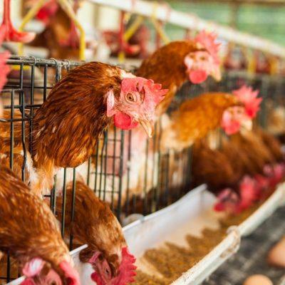 H5N8: Saudi Arabia reports outbreak of HIGHLY pathogenic bird flu virus