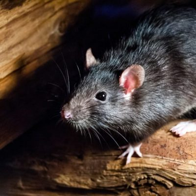 Rats have empathy and avoid causing pain to fellow rodents — unless the reward is high enough, study shows
