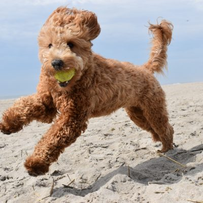 9 Fascinating Reasons Goldendoodles Make Excellent Therapy Dogs